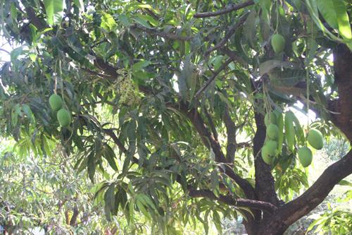 Alphonsofruitontree 12 2012 500 Zz Fresh Mangoes