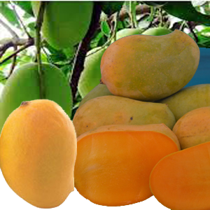 CATEGORY: GUJARAT MANGOES
